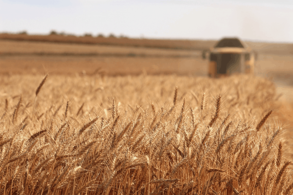 Many people feel they might be sensitivite to the gluten in wheat